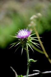 Fleur de Génézareth (15 minutes de l'Oasis)