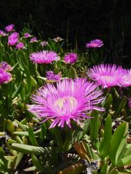 Fleur de Galilée