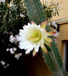 Fleur de Cactus de l'Oasis