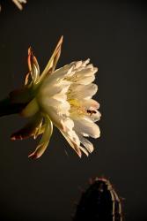 Oasis Fleur de Cactus