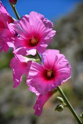 Wadi Amoun Canyon (20 minutes de l'Oasis) : Fleur